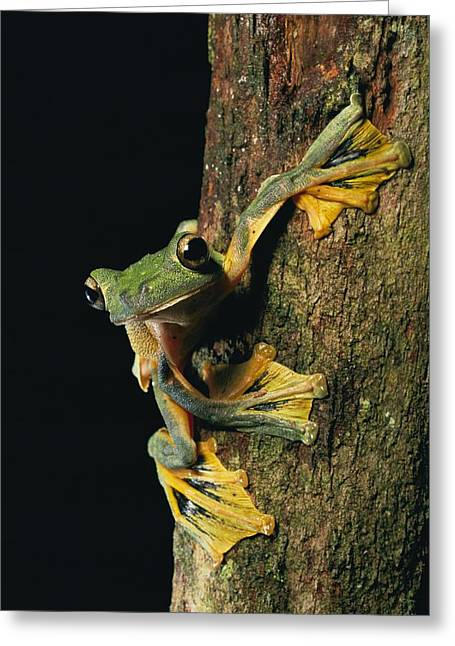 Recently Sold -  - Flying Frog Greeting Cards - Close View Of A Wallaces Flying Frog Greeting Card by Tim Laman
