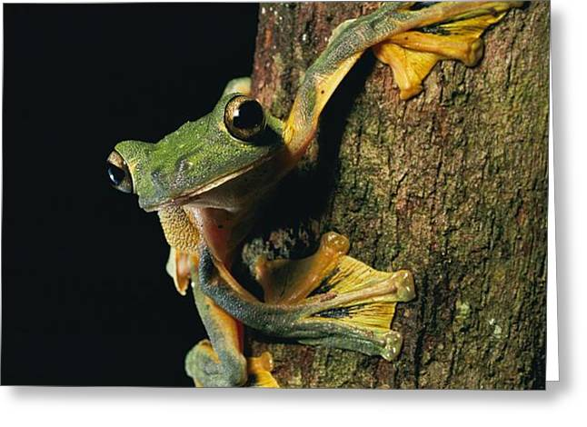 Close View Of A Wallaces Flying Frog Greeting Card by Tim Laman