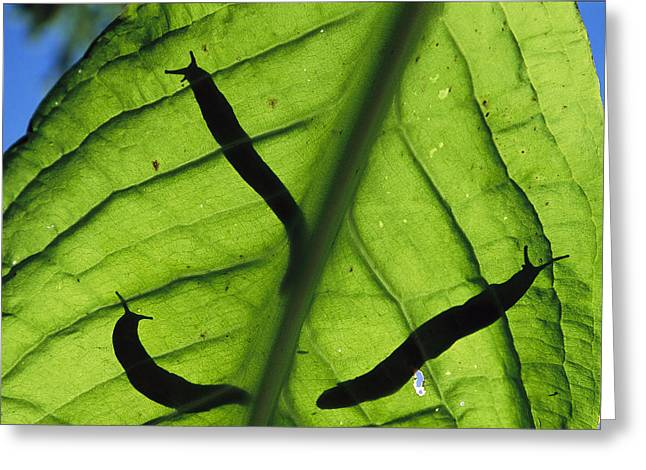 North Vancouver Greeting Cards - Close View Of Banana Slugs Silhouetted Greeting Card by Joel Sartore