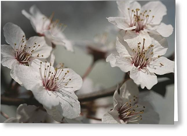 Plant Physiology Greeting Cards - Close View Of Cherry Blossoms Greeting Card by Darlyne A. Murawski