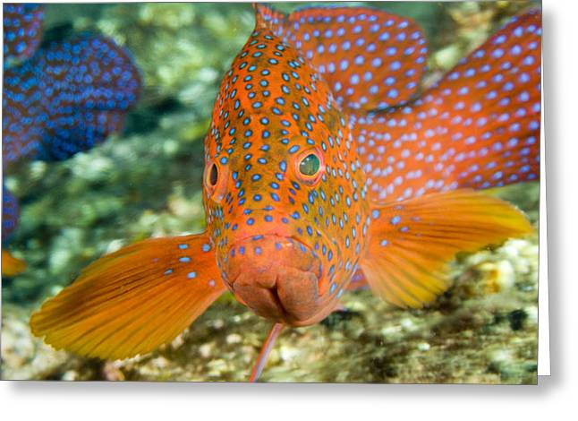 Grouper Greeting Cards - Closeup Of A Spinecheek Anemonefish Greeting Card by Tim Laman