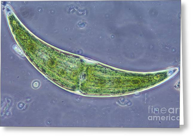 Closterium Sp. Algae Lm Greeting Card by M. I. Walker