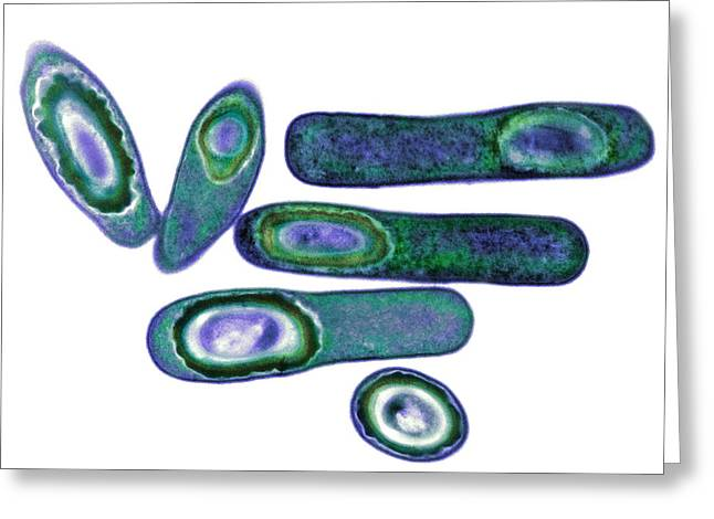 Microbiological Greeting Cards - Clostridium Difficile Bacteria, Tem Greeting Card by Biomedical Imaging Unit, Southampton General Hospital