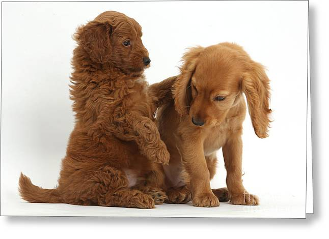Goldendoodle Greeting Cards - Cocker Spaniel Puppy And Goldendoodle Greeting Card by Mark Taylor