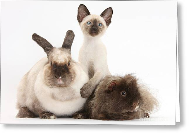 Colourpoint Greeting Cards - Colorpoint Rabbit, Shaggy Guinea Pig Greeting Card by Mark Taylor