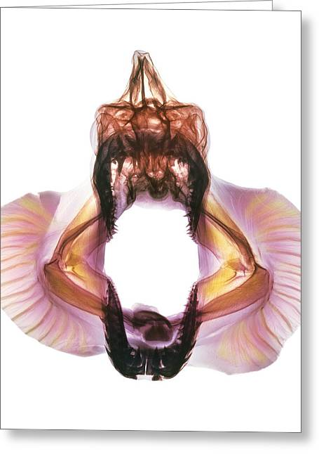 Mako Shark Greeting Cards - Coloured X-ray Of Skull Of A Mako Shark Greeting Card by D. Roberts