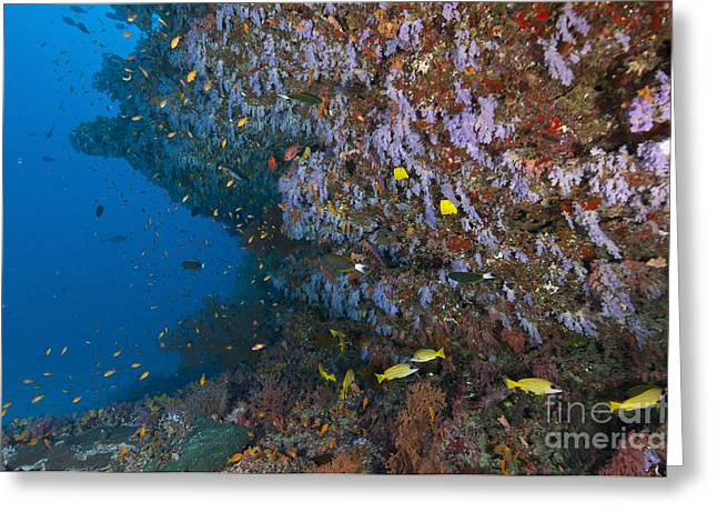 Snapper Greeting Cards - Colourful Reef Scene, Ari And Male Greeting Card by Mathieu Meur