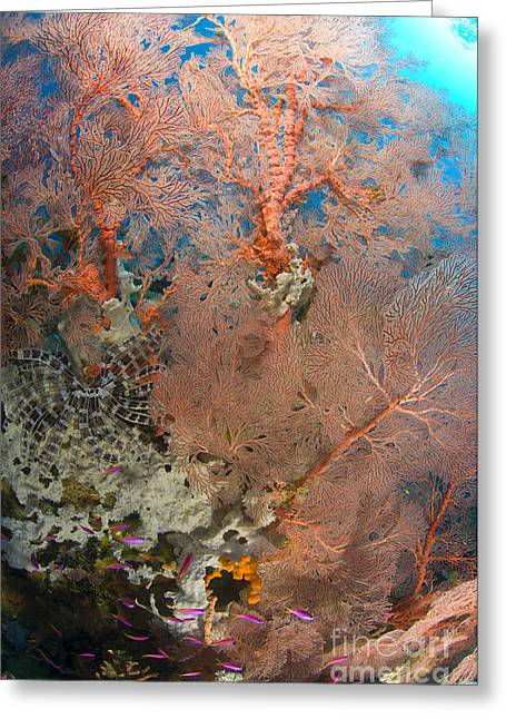 Cnidaria Greeting Cards - Colourful Sea Fan With Crinoid, Papua Greeting Card by Steve Jones