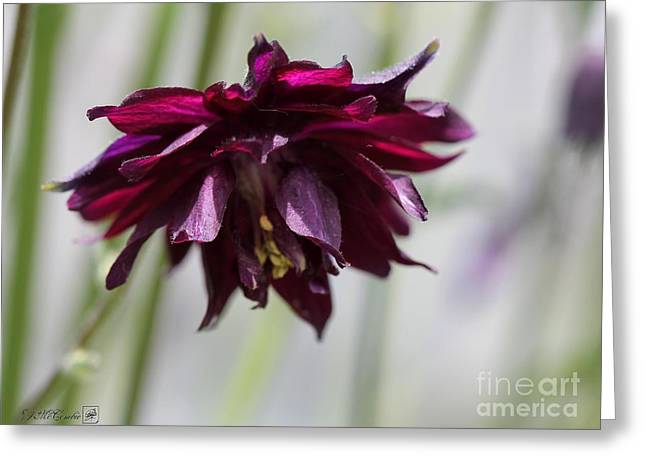 Red Wine Prints Greeting Cards - Columbine named Miss MI Huish Greeting Card by J McCombie