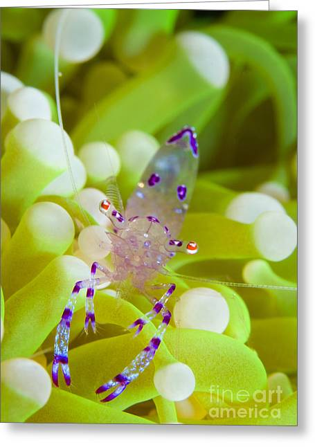 Prawns Greeting Cards - Commensal Shrimp On Green Anemone Greeting Card by Steve Jones