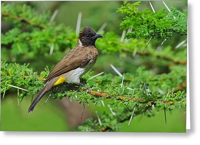 Birds. Thorns Greeting Cards - Common Bulbul Greeting Card by Tony Beck
