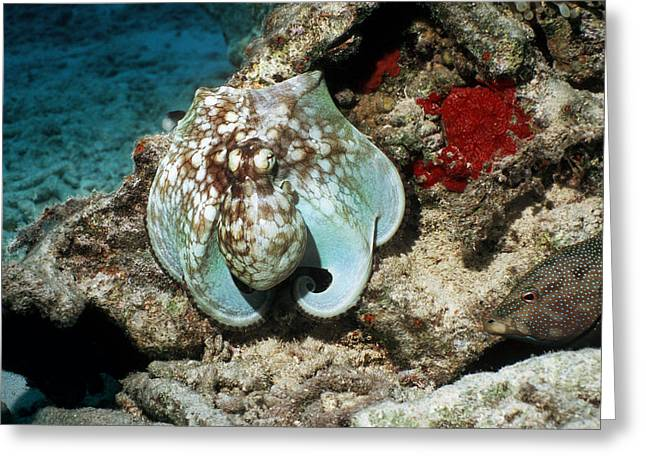 Grouper Greeting Cards - Common Octopus Greeting Card by Georgette Douwma