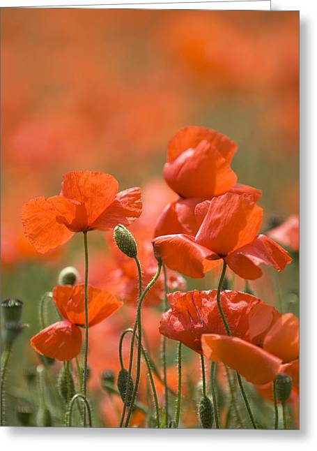Rememberance Greeting Cards - Common Poppies (papaver Rhoeas) Greeting Card by Adrian Bicker