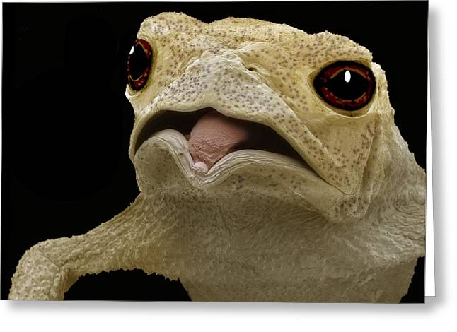 False-colour Greeting Cards - Common Toad, Sem Greeting Card by Steve Gschmeissner