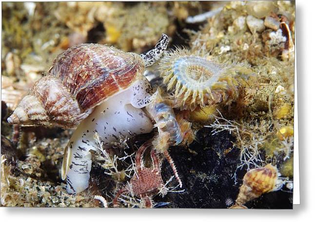 Marine Mollusc Greeting Cards - Common Whelk Greeting Card by Alexander Semenov