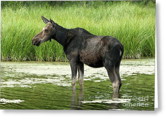 Hooved Mammal Greeting Cards - Cooling Off Greeting Card by Sandra Bronstein