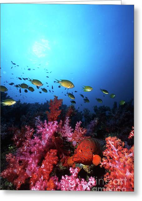 Light Coral Greeting Cards - Coral Grouper, Fiji Greeting Card by Beverly Factor