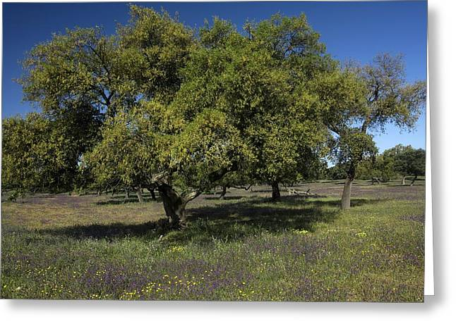 Quercus Greeting Cards - Cork Oak (quercus Suber) Trees Greeting Card by Bob Gibbons