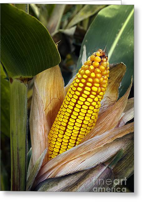 Husks Greeting Cards - Corn Cob Greeting Card by Carlos Caetano