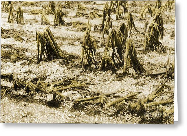 Flattened Greeting Cards - Cornfield After Hailstorm Greeting Card by Science Source