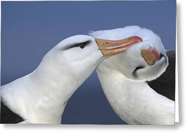 Falkland Islands Greeting Cards - Courtship Behavior By A Pair Greeting Card by Frans Lanting