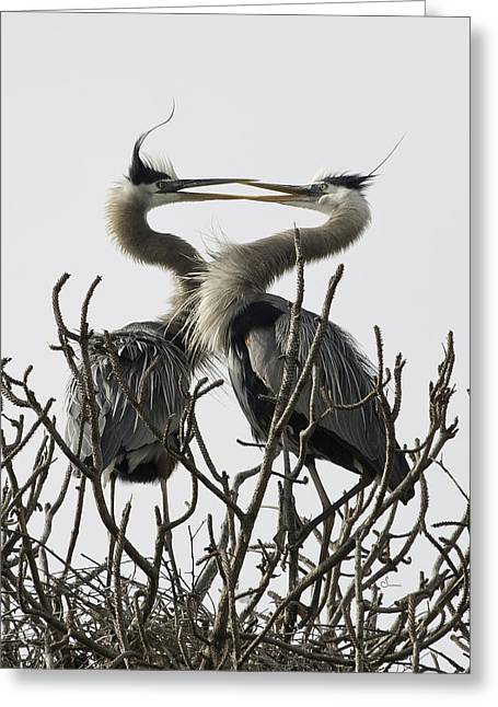 Nature Nesting Greeting Cards - Courtship Greeting Card by Sally Mitchell