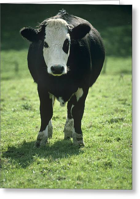 One Cow Greeting Cards - Cow Greeting Card by David Aubrey