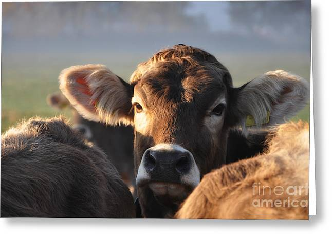 Three Cows Greeting Cards - Cow Greeting Card by Mats Silvan