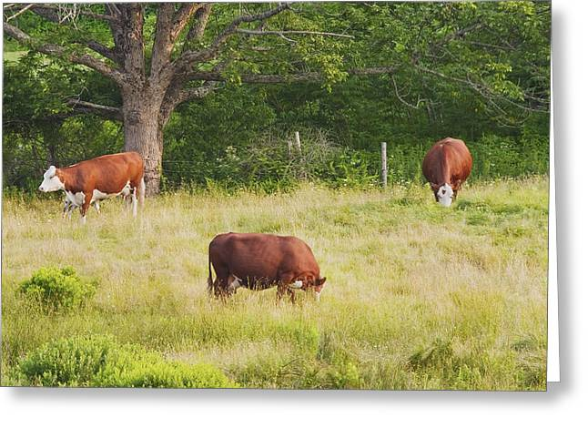 Domestic Cattle Greeting Cards - Cows Grazing In Field Rockport Maine Greeting Card by Keith Webber Jr