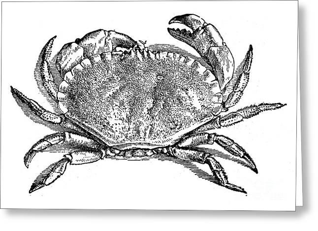 Aquatic Greeting Cards - Crab Greeting Card by Granger