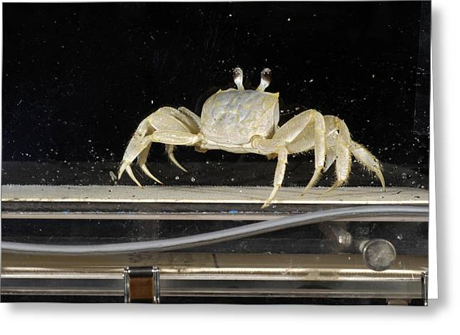 Gaiting Greeting Cards - Crab Locomotion Research Greeting Card by Volker Steger