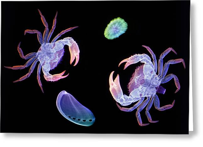 Marine Mollusc Greeting Cards - Crabs And Marine Molluscs Greeting Card by D. Roberts