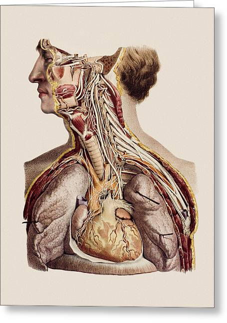 Aorta Greeting Cards - Cranial Nerves Greeting Card by Mehau Kulyk