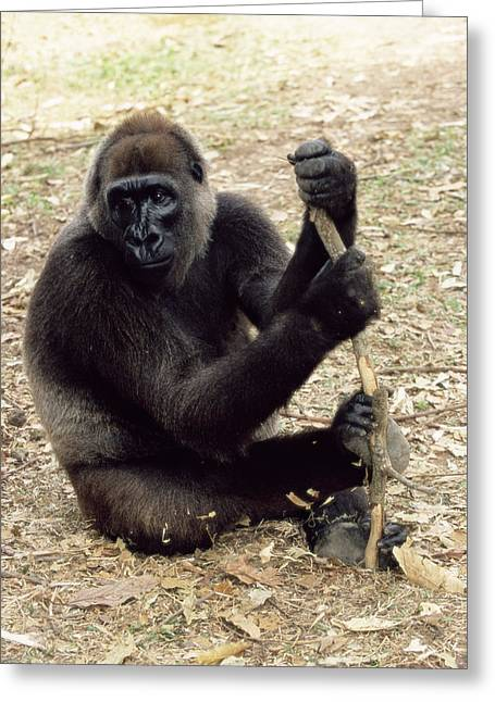 Cross River Greeting Cards - Cross River Gorilla Greeting Card by Tony Camacho