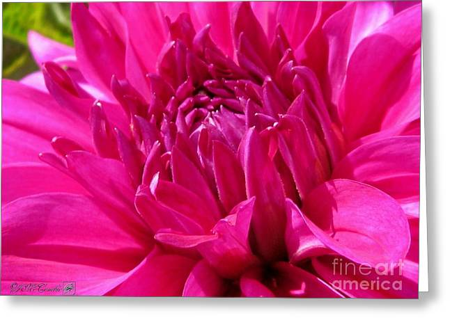 Dahlia Named I'm A Hottie Greeting Card by J McCombie