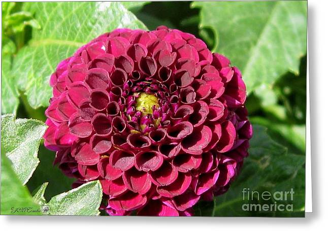 Red Wine Prints Greeting Cards - Dahlia named Pride of Place Greeting Card by J McCombie