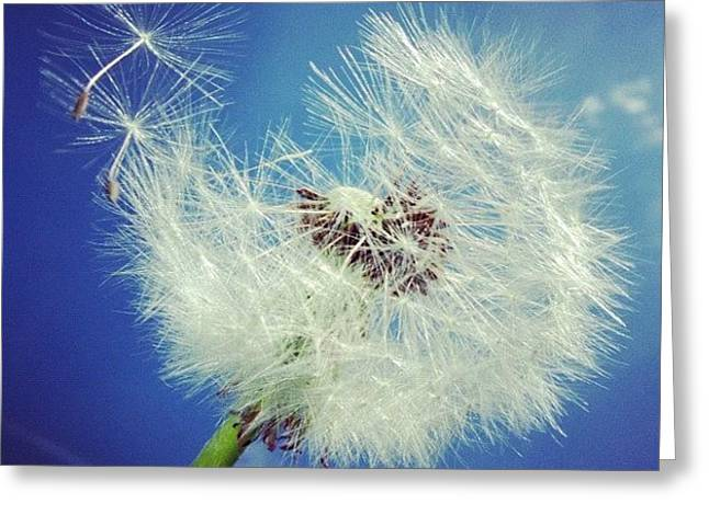 Greeting Cards - Dandelion and blue sky Greeting Card by Matthias Hauser