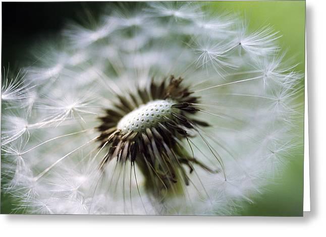 Soft Clocks Greeting Cards - Dandelion Seed Head Greeting Card by Dr. Nick Kurzenko