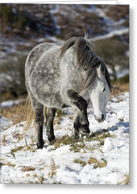 Dartmoor Pony Greeting Card by Adrian Bicker