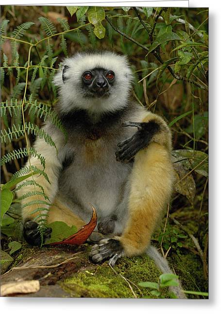 Lemur Sp Greeting Cards - Diademed Sifaka Propithecus Diadema Greeting Card by Pete Oxford