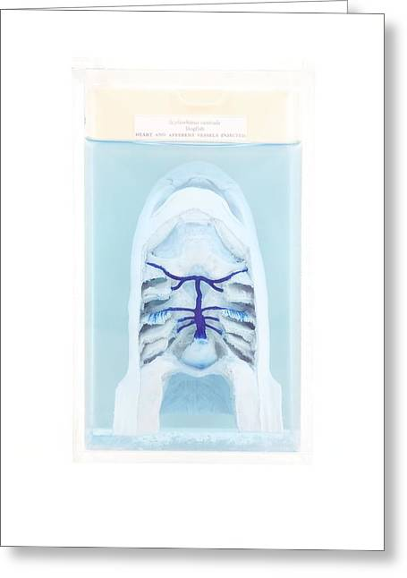 Dogfish Greeting Cards - Dissected Dogfish Greeting Card by Gregory Davies, Medinet Photographics