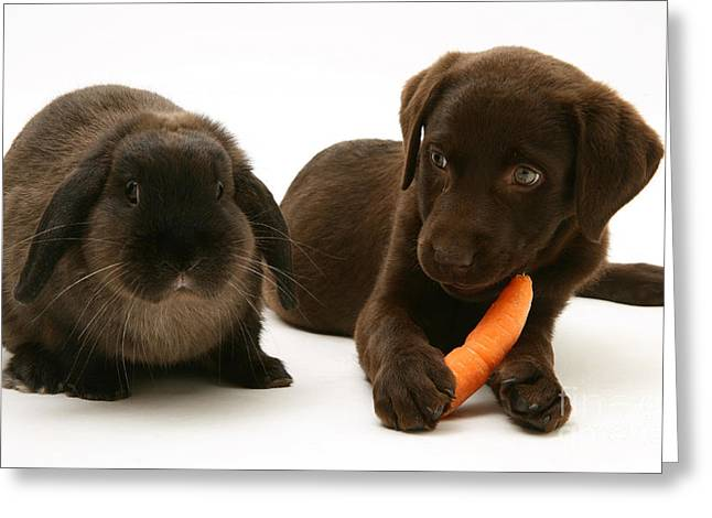 Chocolate Lab Greeting Cards - Dog Steals Rabbits Carrot Greeting Card by Jane Burton