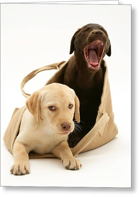 Cute Labradors Greeting Cards - Dogs In Cloth Bag Greeting Card by Jane Burton