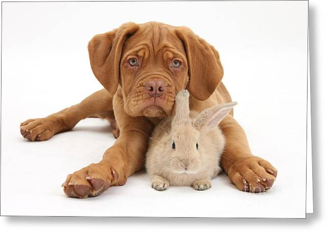 House Pet Greeting Cards - Dogue De Bordeaux Puppy With Young Greeting Card by Mark Taylor