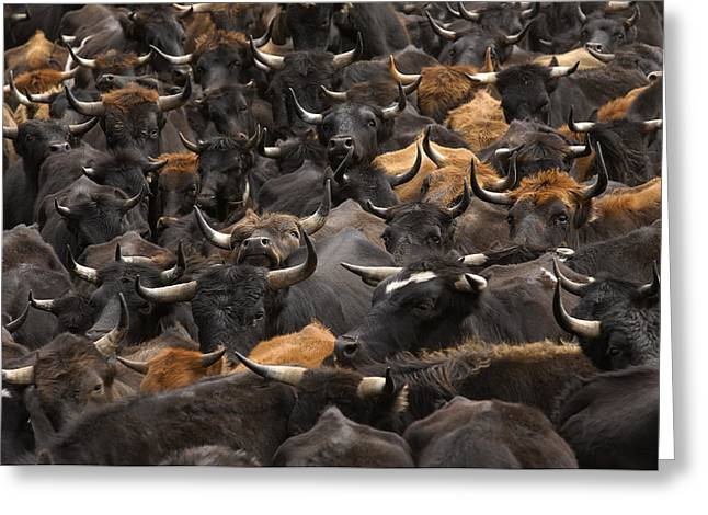 Bos Bos Greeting Cards - Domestic Cattle Bos Taurus Being Herded Greeting Card by Pete Oxford