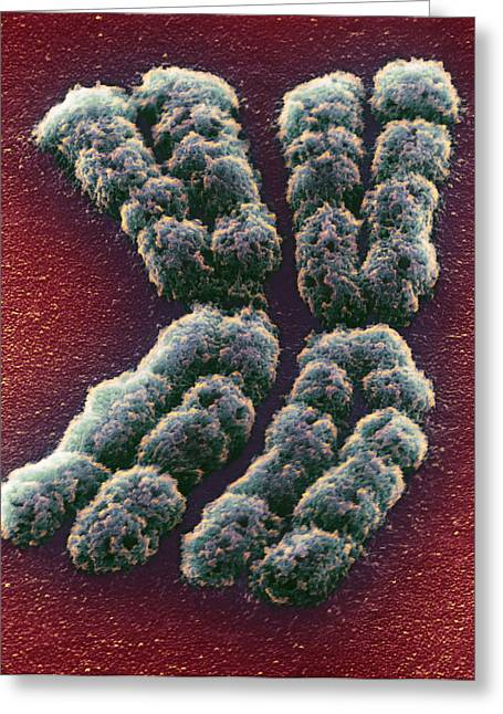 Medication Greeting Cards - Doubled Chromosome, Sem Greeting Card by Adrian T Sumner