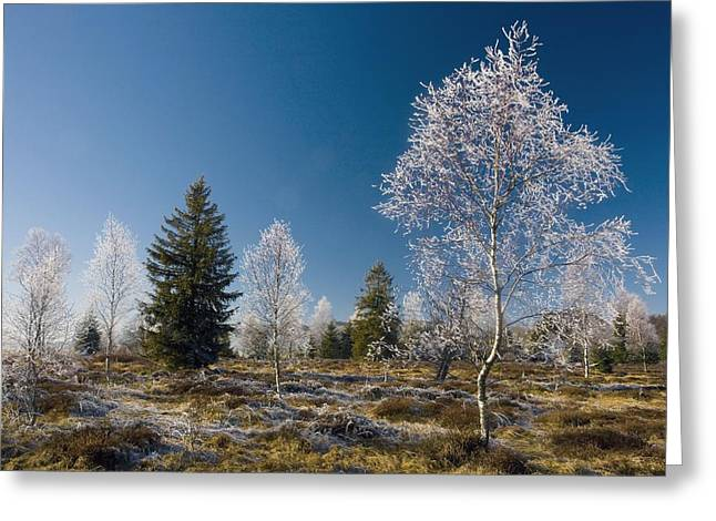 Downy Greeting Cards - Downy Birch (betula Pubescens) Greeting Card by Bob Gibbons