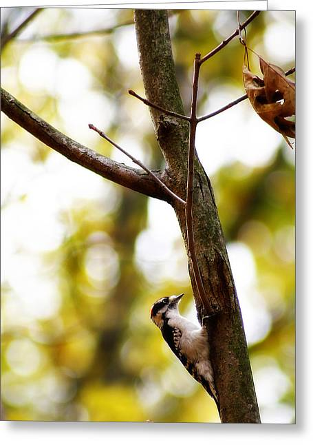 Hairy Woodpecker Greeting Cards - Downy Woodpecker Greeting Card by Scott Hovind
