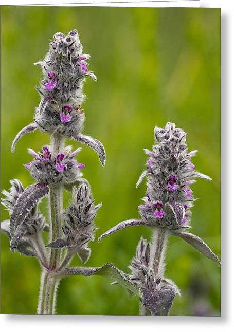 Downy Greeting Cards - Downy Woundwort (stachys Germanica) Greeting Card by Bob Gibbons