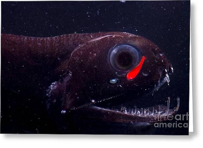 Deepsea Greeting Cards - Dragonfish Greeting Card by Dante Fenolio